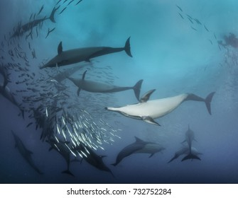Common dolphins working together as a team to round up sardines into a bait ball so they can feed on them. Image was taken during the annual sardine run, Wild Coast, South Africa.