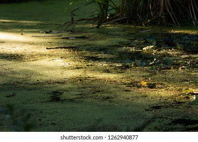 Common duckweed (Lemna minor) covers the whole surface of a pond in the botanic garden in Sopron, Hungary. The morning sun makes the water surface glitter, sparkle.