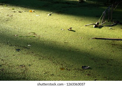 Common duckweed (Lemna minor) covers the whole surface of a pond in the botanic garden in Sopron, Hungary. The morning sunlight plays on the green texture.