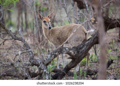 common duiker, Sylvicapra grimmia looking backwards though the bushes and scrubs ears up listening