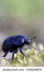Common dung beetle in a macro shot - Stack of 7 images
