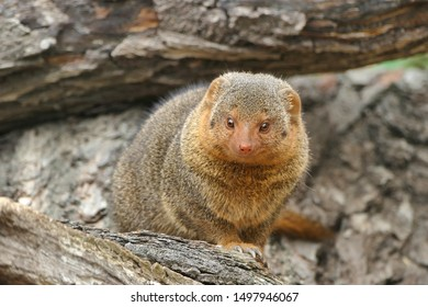 Common dwarf mongoose (Helogale parvula) small African carnivore