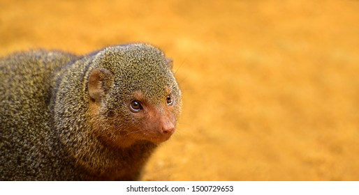 The common dwarf mongoose (Helogale parvula), sometimes just called the dwarf mongoose, is a small African carnivore belonging to the mongoose family (Herpestidae)