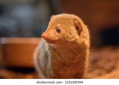 The common dwarf mongoose (Helogale parvula), sometimes just called the dwarf mongoose, is a small African carnivore belonging to the mongoose family (Herpestidae).