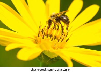 Common Eastern Bumble Bee collecting nectar from a yellow Cup Plant flower. High Park, Toronto, Ontario, Canada.