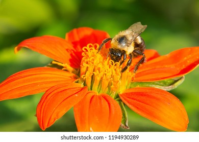 Common Eastern Bumble Bee collecting nectar from an orange flower. Rosetta McClain Gardens, Toronto, Ontario, Canada.