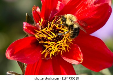 Common Eastern Bumble Bee collecting nectar from a red flower. Rosetta McClain Gardens, Toronto, Ontario, Canada.