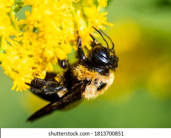 Common Eastern Bumble Bee on Flower