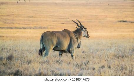 Common eland antelope on dry savannah grassland