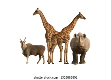 Common Eland, black rhinoceros and two angolan giraffes isolated on white background. Set of typical animals from Etosha national park. Wildlife photography, Namibia.
