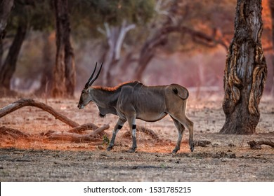 The common eland, also known as the southern eland or eland antelope with back light with sunset in Mana Pools National Park in Zimbabwe