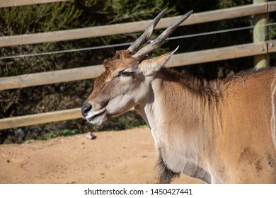 A Common Eland, a large antelope species of the Savannah common to Eastern and Southern Africa, pictured in captivity in a zoo enclosure.
