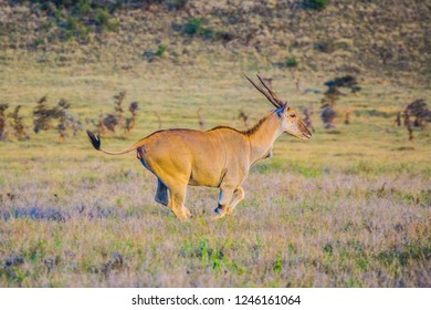 Common eland running on the African savanna landscape