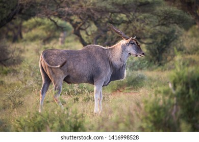 Common Eland, Southern Eland or Eland antelope (Taurotragus oryx) standing side on or in profile isolated in the wild at Mokala National Park in the Northern Cape of South Africa in the sunset