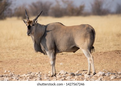 The common eland (Taurotragus oryx), also known as the southern eland or eland antelope, is a savannah and plains antelope found in East and Southern Africa. Here in Etosha National Park in Namibia.
