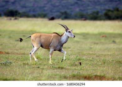 The common eland (Taurotragus oryx), also known as the southern eland or eland antelope in a savannah.
