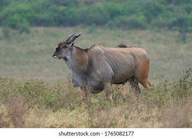 Common eland Taurotragus oryx also known as southern eland or eland antelope in savannah and plains East Africa