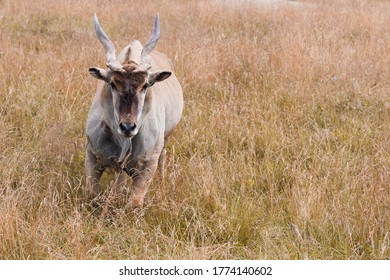 Common eland Taurotragus oryx also known as southern eland or eland antelope. It is native to Africa.