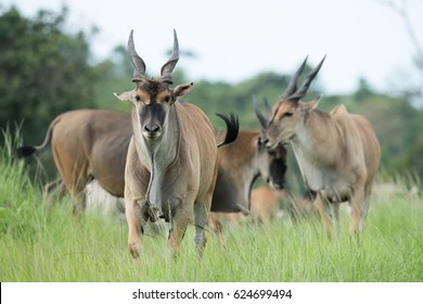 Common eland (Taurotragus oryx) relaxing and grazing