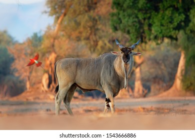 Common Eland - Taurotragus oryx also the southern eland or eland antelope, savannah and plains antelope found in East and Southern Africa, family Bovidae and genus Taurotragus.