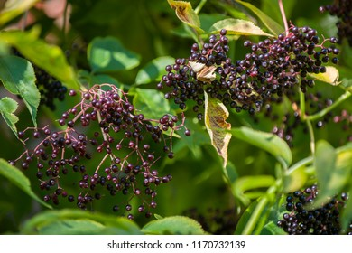 Common Elderberry small black berries on bush with green leaves closeup in bright sunny summer day light