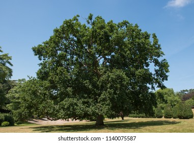 Common English Oak Tree (Quercus robur) in a Garden in Rural Somerset, England, UK