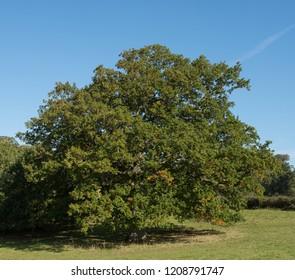 Common or English Oak Tree (Quercus robur) in a Park in Rural Devon, England, UK