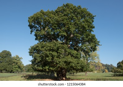 Common or English Oak Tree (Quercus robur) with a Bright Blue Sky Background in a Park in Rural Devon, England, UK