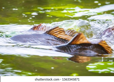 Common European carp (Cyprinus carpio) spawning violent during Springtime breeding season. Males pushing female to release their eggs and fertilize them with sperm.