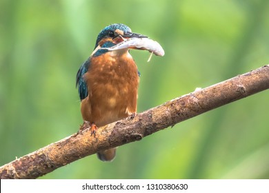 Common European Kingfisher (Alcedo atthis) perched on a stick above the river and hunting for fish. A Minnow (Phoxinus phoxinus has been caught and is held in its beak.