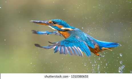 Common European Kingfisher (Alcedo atthis).  river kingfisher flying after emerging from water on green natural background