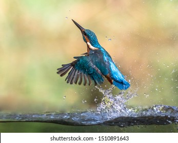 Common European Kingfisher (Alcedo atthis).  river kingfisher diving and emerging from water and flying back to lookout post on green background