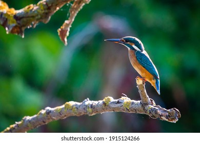 Common European Kingfisher or Alcedo atthis sits on a stick above the river and hunting for fish. This sparrow-sized bird has the typical short-tailed, large-headed kingfisher profile.