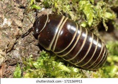 Common European species of pill millipede (Glomeris marginata) millipede, rounded in cross-section, which is capable of rolling itself up into a ball, looks closely woodlouse