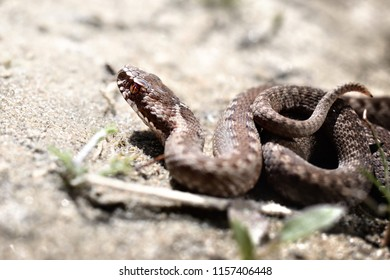 Common European viper snake (Vipera berus) in its habitat. Sand background. The posture of defense
