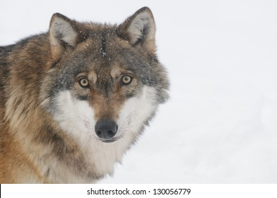 common european wolf
