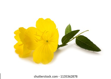 common evening primrose flower isolated on white