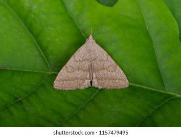 Common Fan-foot moth ( Pechipogo strigilata ). Sitting on a leaf.