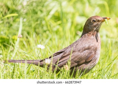 Common female Blackbird collecting food for her chicks