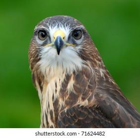 Common Female Hawk