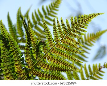Common fern In the photo is an fern, common fern.