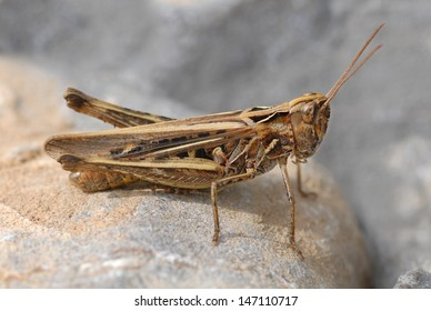 Common Field Grasshopper (Chorthippus brunneus) on the Gower Peninsula