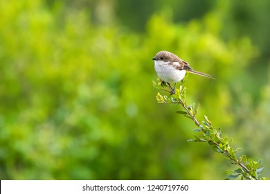 Common Fiscal shrike bird in brown white perching on tree at Ngorongoro Crater, Arusha Region, Tanzania, East Africa