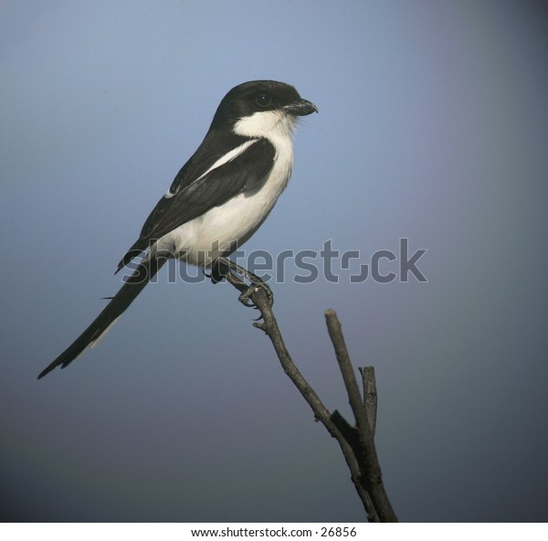 Common Fiscal Shrike perched