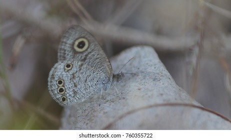 Common Fivering butterfly