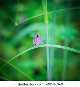 The Common Fivering butterfly, Satyrinae butterfly on leaf grass
