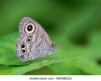 Common Fivering(Ypthima baldus baldus), brown butterfly on Leaves and green background