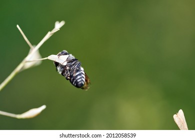 Common Flesh Fly (Sarcophaga carnaria) on the on green leaf. Common flesh fly is a European species of flesh fly.