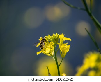 A common flower fly, Syrphus ribesii, a type of hoverfly, feeds from yellow flowers.