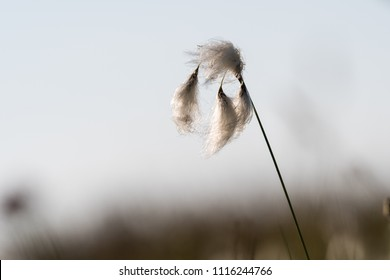 Common fluffy cotton grass closeup at the swedish island Oland